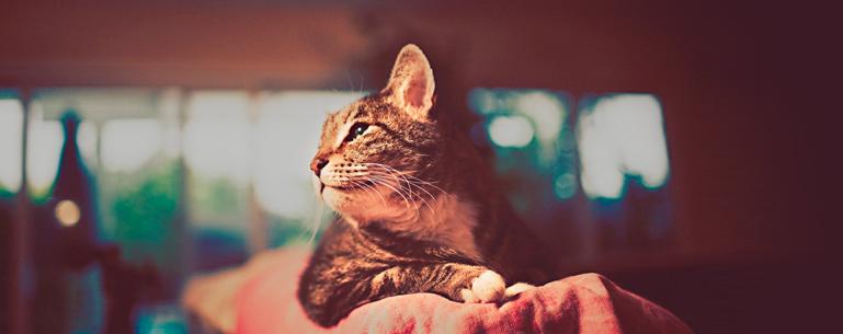 Как ухаживать за длинношерстной кошкой?
