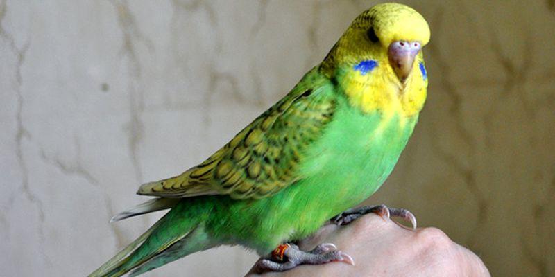 Немного о том, как ухаживать за волнистым попугаем